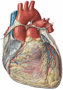 images/stories/img_rot/corazon-anatomia-fisiologia.jpg